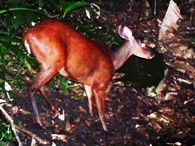 Red-Brocket Deer