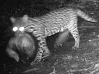 Ocelot with Opossum